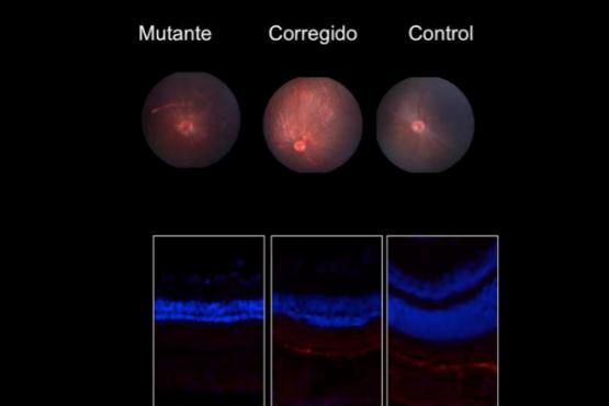 Una nueva técnica de edición genética devuelve parcialmente la visión a ratones ciegos.